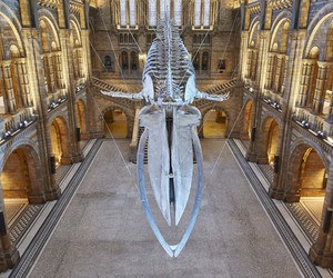 Whale Skeleton at Natural History Museum, London