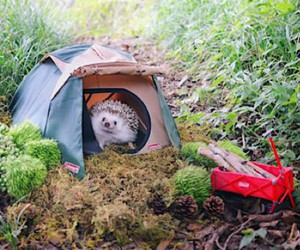 The hedgehog Azuki likes to go camping